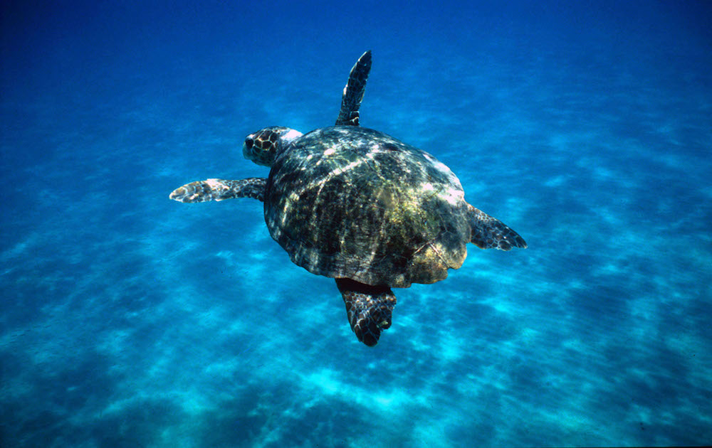 Loggerhead turtle, Mediterranean Sea