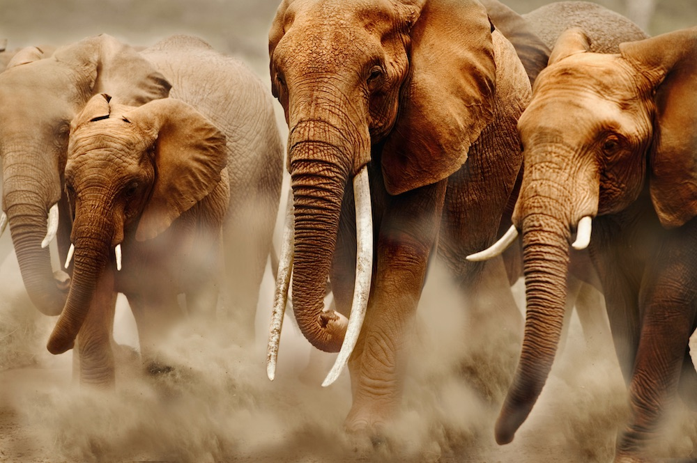 Herd of African elephants. Amboseli National Park, Kenya.